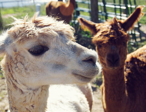 Alpaca Therapy at Queensland School Tackles Special Students' Anxiety